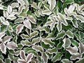 Frosted Leaves Stock Photography - 3491852