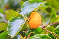 Persimmon On Tree Stock Photo - 34907840