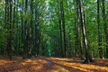 Beech Trees Leaves Woods Autumn Royalty Free Stock Image - 34910646