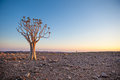Generic Desert Scene With Quiver Tree At Sunrise Stock Photography - 34924792