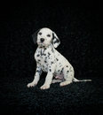 Dalmation Puppy Royalty Free Stock Photo - 34934165