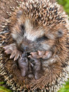Hedgehog Baby Close Up Stock Images - 34938234