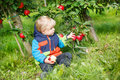 Little Toddler Boy Of Two Years Picking Red Apples In An Orchard Stock Photo - 34944950