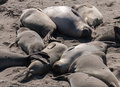 Elephant Seals Relaxing On The Beach Stock Image - 34973461