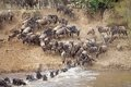 Wildebeest (Connochaetes Taurinus) Great Migration Royalty Free Stock Images - 34990019