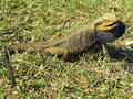 Eastern Bearded Dragon Lizard In Grass Royalty Free Stock Photo - 35006795