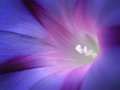 Closeup Of Softly Illuminated Blue And Purple Morning Glory Flower Royalty Free Stock Images - 35017129