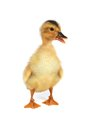 Duck Royalty Free Stock Photography - 35038567