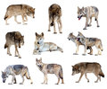 Set Of Gray Wolves. Isolated  Over White Stock Photography - 35082412