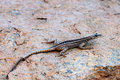 Augrabies Flat Lizard Female Stock Images - 35084584