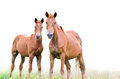 Brown Mare And Foal On White Background Royalty Free Stock Photos - 35098128