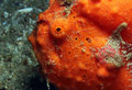 Red Painted Frogfish Royalty Free Stock Images - 35128279