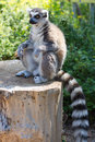 Ring Tailed Lemur (lemur Catta) Royalty Free Stock Photo - 35128655