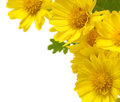 Yellow Flowers Isolated Royalty Free Stock Images - 35129659