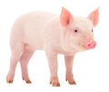 Pig On White Royalty Free Stock Image - 35129996