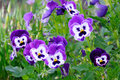 Blue Pansy Flowers Stock Image - 35149991