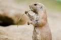 Cute Small Black-tailed Prairie Dog Eating Grass Royalty Free Stock Photo - 35161125