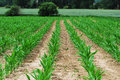 Young Corn Field Stock Photo - 35180370