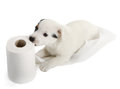 Jack Russell Puppy With Toilet Paper Royalty Free Stock Image - 35189086