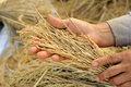 Farmer Hand Hold Jasmine Rice. Royalty Free Stock Image - 35191296