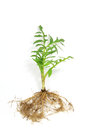 Seedling Of Valerian Stock Photos - 35205573
