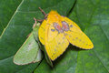 Moth Mating Royalty Free Stock Images - 35208699