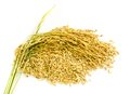 Paddy Rice Seed. Stock Photography - 35218672