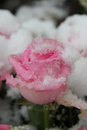 Snow Covered Pink Rose Stock Photography - 35247742