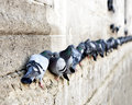 Pigeons In A Row Royalty Free Stock Image - 35258316