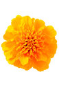 Close Up Tagetes Flower Royalty Free Stock Photography - 35261127