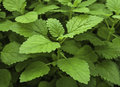 Lemon Balm Stock Image - 35289671