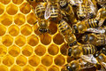 Bees On Honeycells Stock Images - 3533644