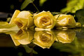 Yellow Roses Royalty Free Stock Images - 3537869