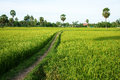 The Path On Green Rice Field And Palm Trees Royalty Free Stock Photo - 35314785
