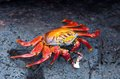 Red Rock Crab Stock Photo - 35325480
