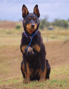 An Australian Kelpie Waiting To Work. Stock Photography - 35338272
