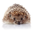 Prickly Hedgehog On A White Background Stock Photos - 35357573