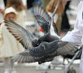 Pigeons Flapping While Eating Stock Photo - 3544160