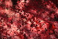 Japanese Maple Leaves Stock Photos - 3549493