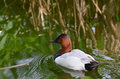 Canvasback Duck2 Stock Images - 35419834