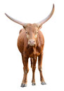 Strong Red Brown Bull Ox Isolated Royalty Free Stock Images - 35420789
