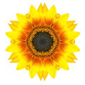 Yellow Concentric Sunflower Flower Isolated On White. Mandala Design Stock Images - 35480674