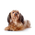 The Decorative Doggie Lies On A White Background. Royalty Free Stock Image - 35528946