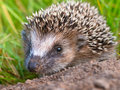Hedgehog Baby Close Up Royalty Free Stock Photography - 35597187