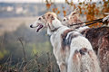 Borzoi Dogs On Hunting Stock Photos - 35597513