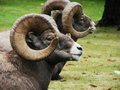 Bighorn Rams At Rest Royalty Free Stock Images - 3561879