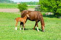 Horse With A Baby Foal Stock Photography - 35641742