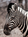 Zebra Portrait In Black And White Stock Images - 35672924