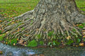 Water Stream Passing By The Roots Of A Big Old Tree At Morning Stock Photos - 35693463