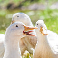 Laughing White Duck Royalty Free Stock Photo - 35702855